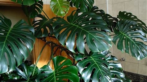kitchen plants that don t need sunlight 100 indoor plants that don t need sunlight 10