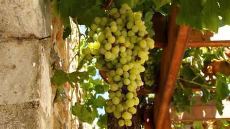 planter sa vigne 224 raisins de table