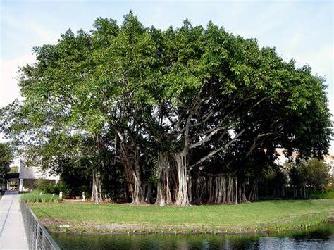 national tree dates national tree of india banayan tree ras 2017 news