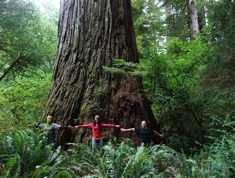 tallest tree in the world where is the tallest tree in the world 28 images world