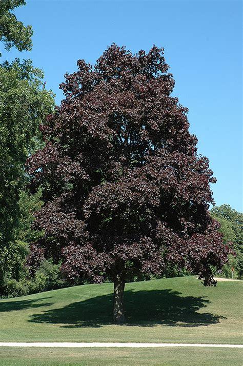 maple tree information crimson king maple acer platanoides crimson king in burlington waterdown dundas