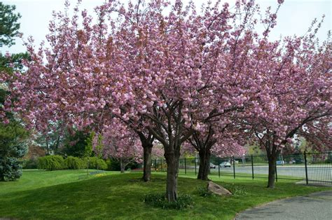 7 cherry tree images for gt ornamental cherry trees plants in the yard prunus cherry tree and