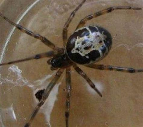 Garden Spider False Widow Pictured False Widow Spider Bite Turned My Neck Black