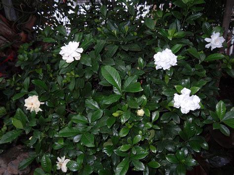 Gardenia Bush Pruning The Fruitful Eyes2see