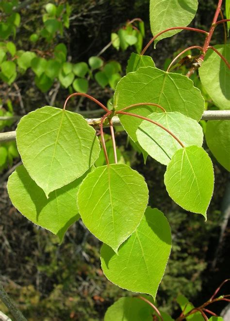 with leaves aspen tree leaf images aspen trees