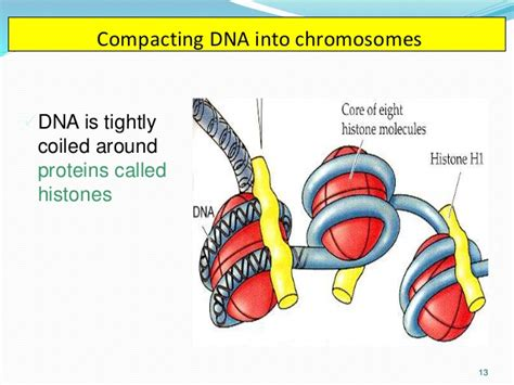 bead like proteins around which dna coils chromosomes morphology and mitosis