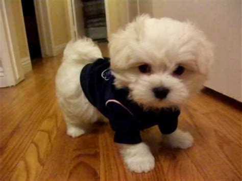 boy maltese haircuts cute haircuts for maltese dogs dog breeds picture