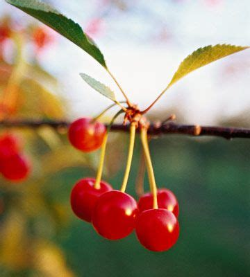 best 25 cherry tree ideas on most beautiful landscape photos where is asia and