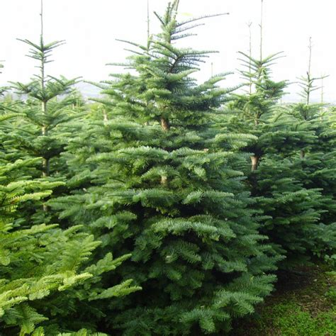 noble spruce conifers alba trees