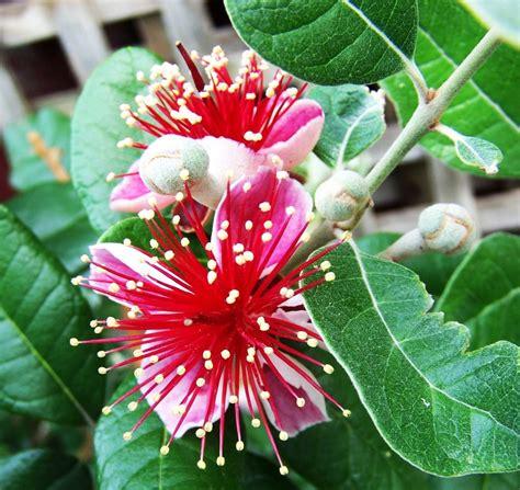 feijoa acca sellowiana kiyanti2008 s weblog