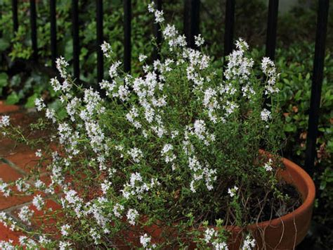 Thyme In Your Kitchen by Growing Thyme In Your Kitchen Garden Boldsky Com
