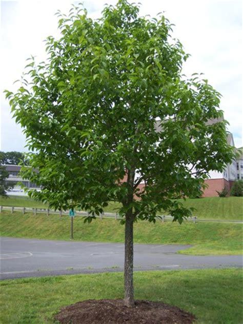 Hardy Rubber Tree Wilson Nurseries
