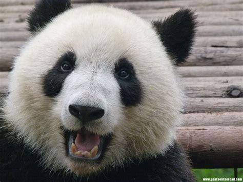 Morton S Musings One Happy Panda