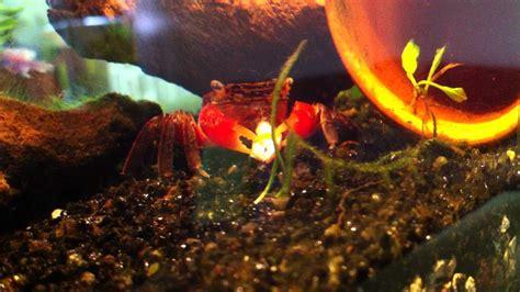 crabe aquarium eau douce sesarma mederi