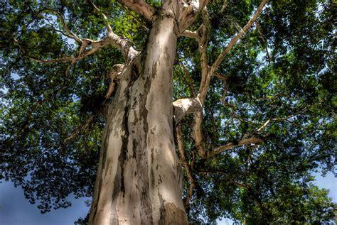 tree in brazil caesalpinia leiostachya pau ferro brazil photograph by