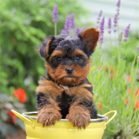 yorkshire terrier sale yorkshire terrier puppies for sale greenfield puppies
