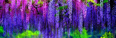 colorful wisteria wallpapers hd desktop wallpapers 4k hd