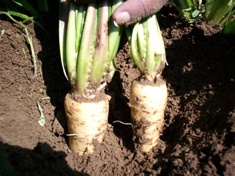 Chicory Root   Teeccino Herbal Coffee / Coffee Alternative