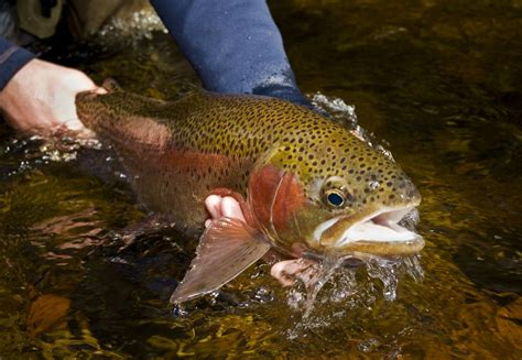 fishing trout listen to the fish fly fishing gink and gasoline how