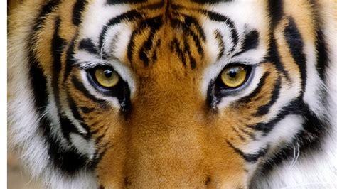 tigers eye animal tigers eye wallpaper