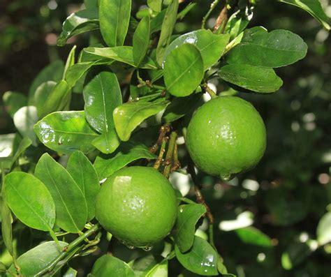 lime tree st flora key limes st