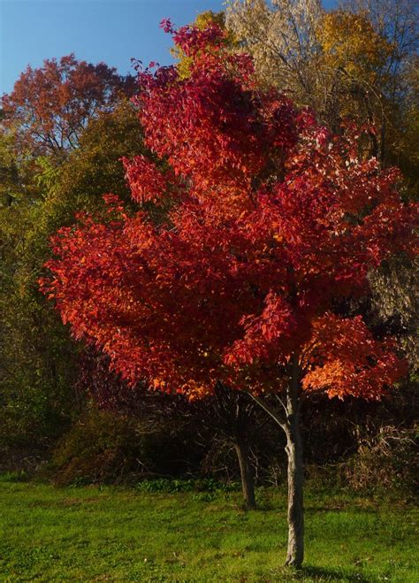 maple tree growing tips care of maple trees how to grow a maple tree garden tips and tricks