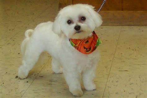 boy maltese haircuts maltese puppy cut