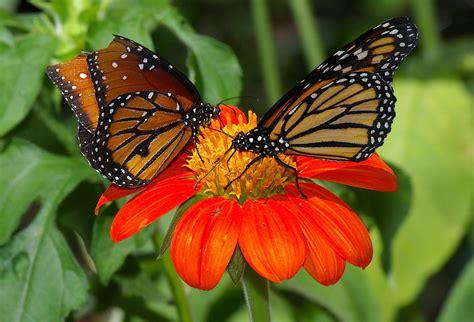 a butterfly butterfly museum species of butterflies