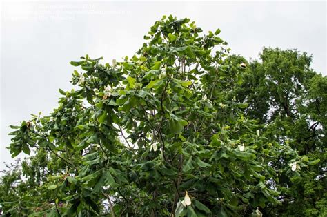 cucumber tree plantfiles pictures mexican cow cucumber bigleaf