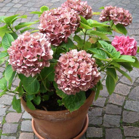 growing hydrangeas in pots growing tips advice