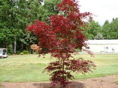 maple tree clay soil eagleston clay soil small trees and shrub