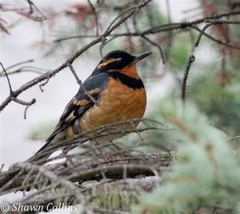premier lights stockists top 28 birds of northern california xploreyourworld