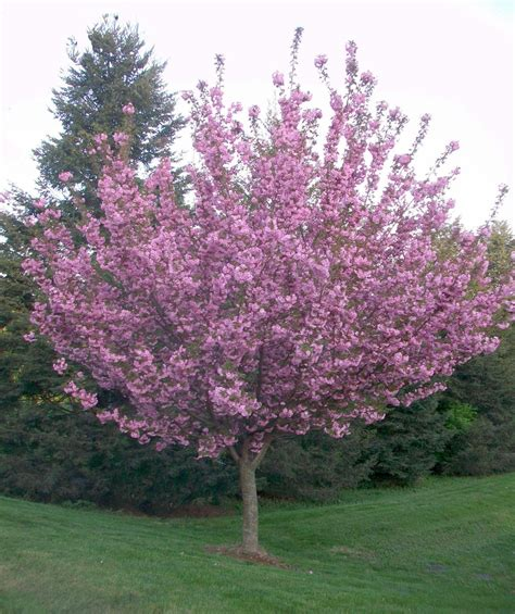 buy kwanzan cherry trees home cherry tree gardens and landscaping