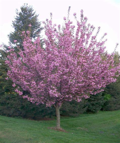 7 cherry tree buy kwanzan cherry trees home cherry tree gardens and landscaping