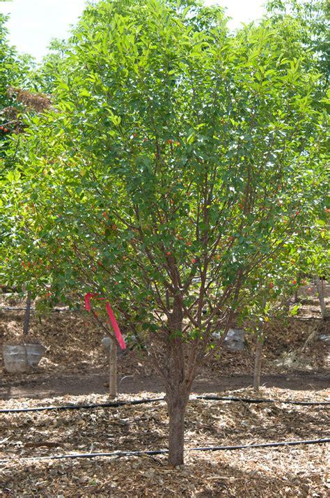 cherry montmorency for sale in boulder colorado