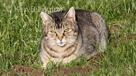 picture of a cat cat felis catus focusing on wildlife