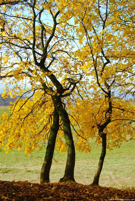trees next yellow trees