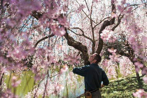 hoping cherry blossoms won t arrive early to their own the new york times
