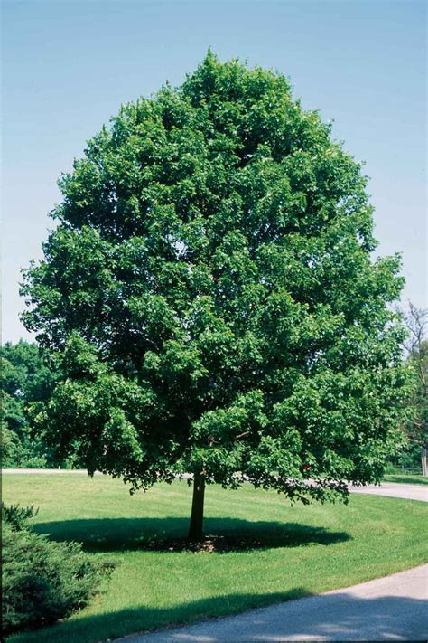 maple tree description commemoration sugar maple is a versatile tree which can be planted almost anywhere in the yard