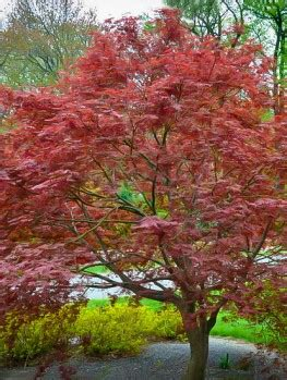 trees in the sale buy japanese maple trees the tree center