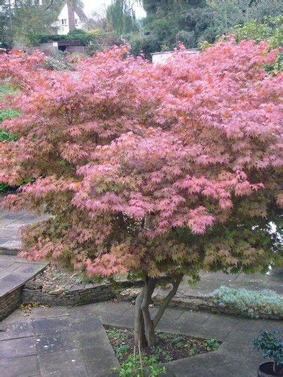 maple tree growing tips planting a japanese maple tree tips on growing and caring for japanese maples