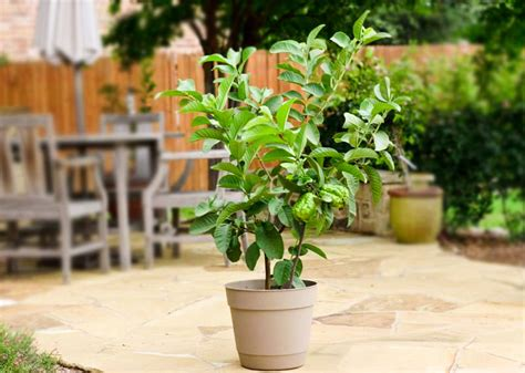 how to pot a tree growing guava in pots guava tree care and information