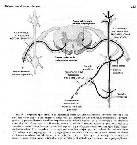cadenas ganglionares slideshare nervios espl 225 cnicos