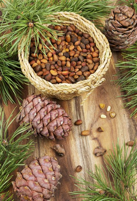 buy pine cones australia where do pine nuts come from harvesting pine nuts from