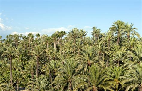 trees in spain elche spain s palm tree city and world heritage site