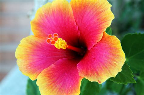 hibiscus flower hibiscus flower free stock photo domain pictures