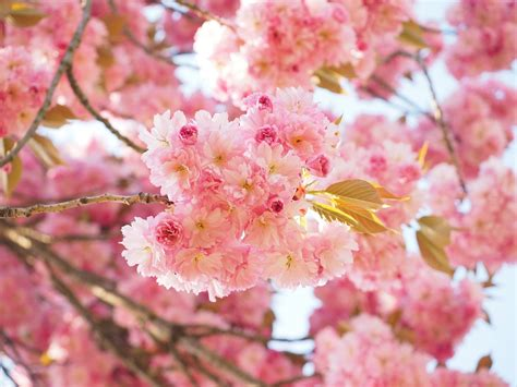cherry blossom images free photo cherry blossom japanese cherry free image