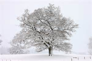 tree with snow oak tree with snow in albury park photo wp22645