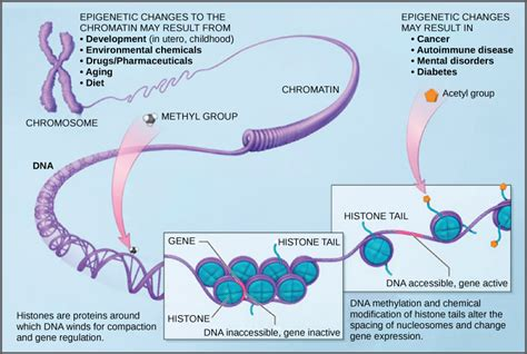 bead like proteins around which dna coils eukaryotic gene regulation biology for majors i
