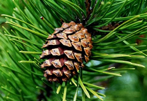 with pine cones scotch pine cone by marilynne bull